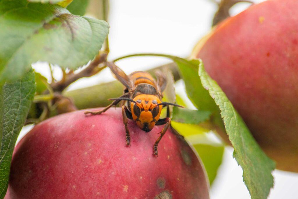 Asian giant hornet on apple